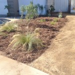 Xeriscape with Fountain grass getting established (photo credit: TRU Landscape Services)