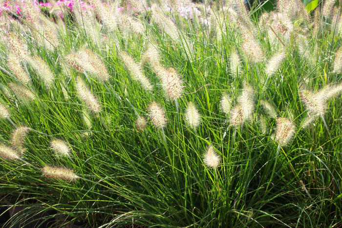 Water saving archives orange county landscape contractor for White ornamental grass